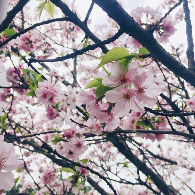 🌸 花開花落  在每個嚮往的地方 釋然一個遺憾 - 沒有永遠的年輕 沒有唱不完的歌 - 來不及認真的年輕過 就認真的老去 《認真地老去》 - #대만 #대만여행 #티안유안사원 #벚꽃