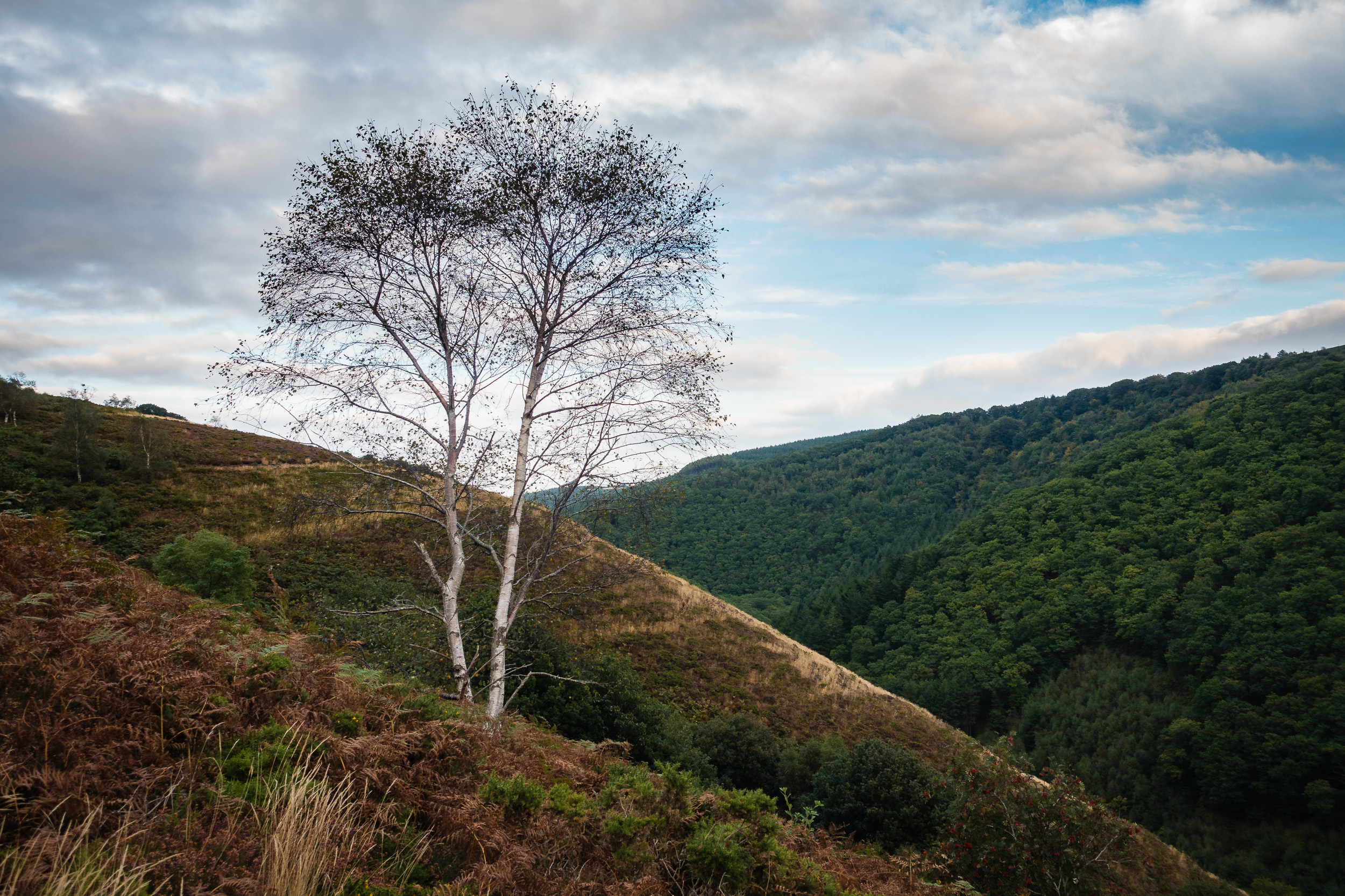 Teign Valley with Tall Tree