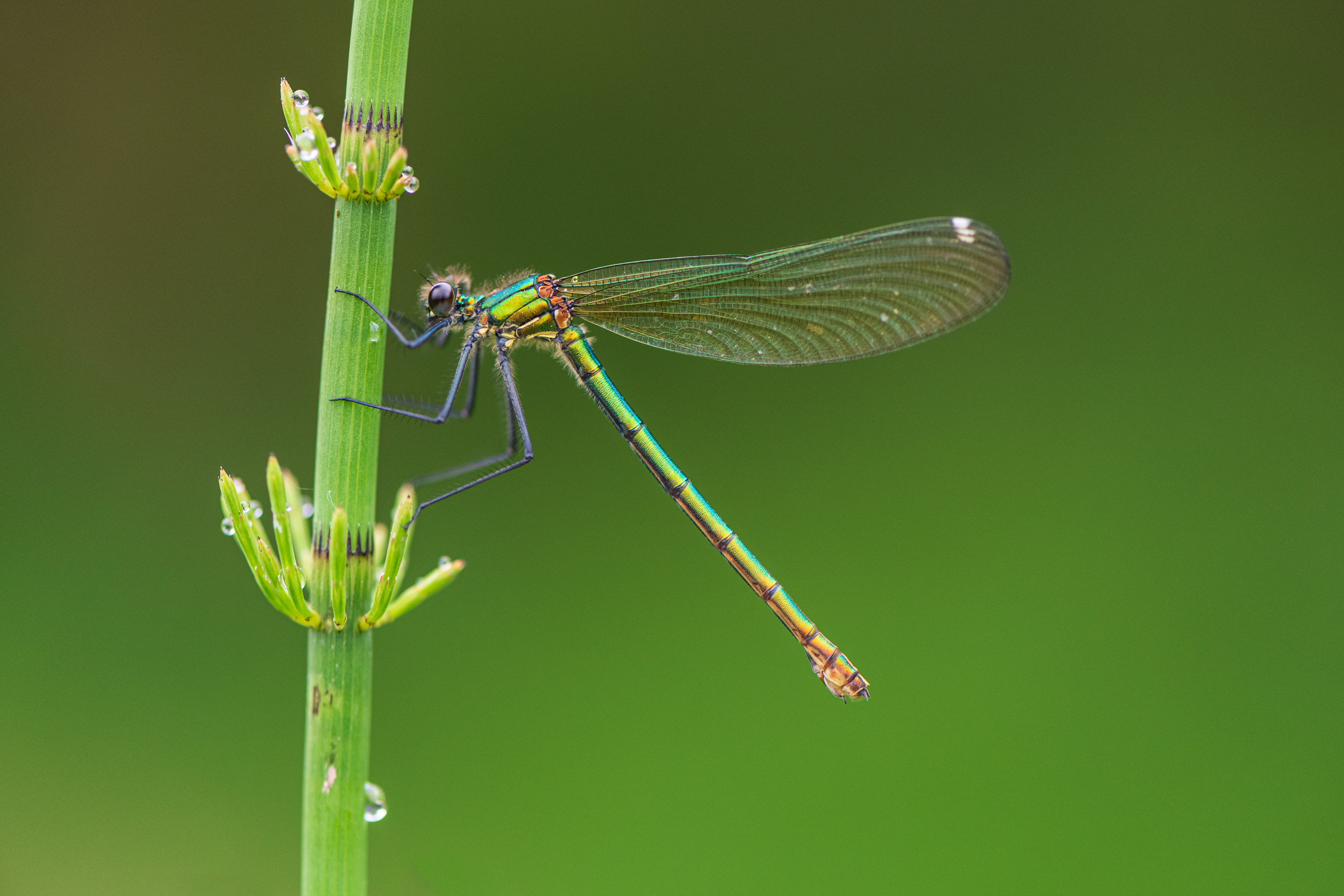 Banded Demoiselle (Calopteryx Splendens), Female - Nikon D850, Nikkor 105mm Macro @ f/4.0, 1/160th second at ISO 800.