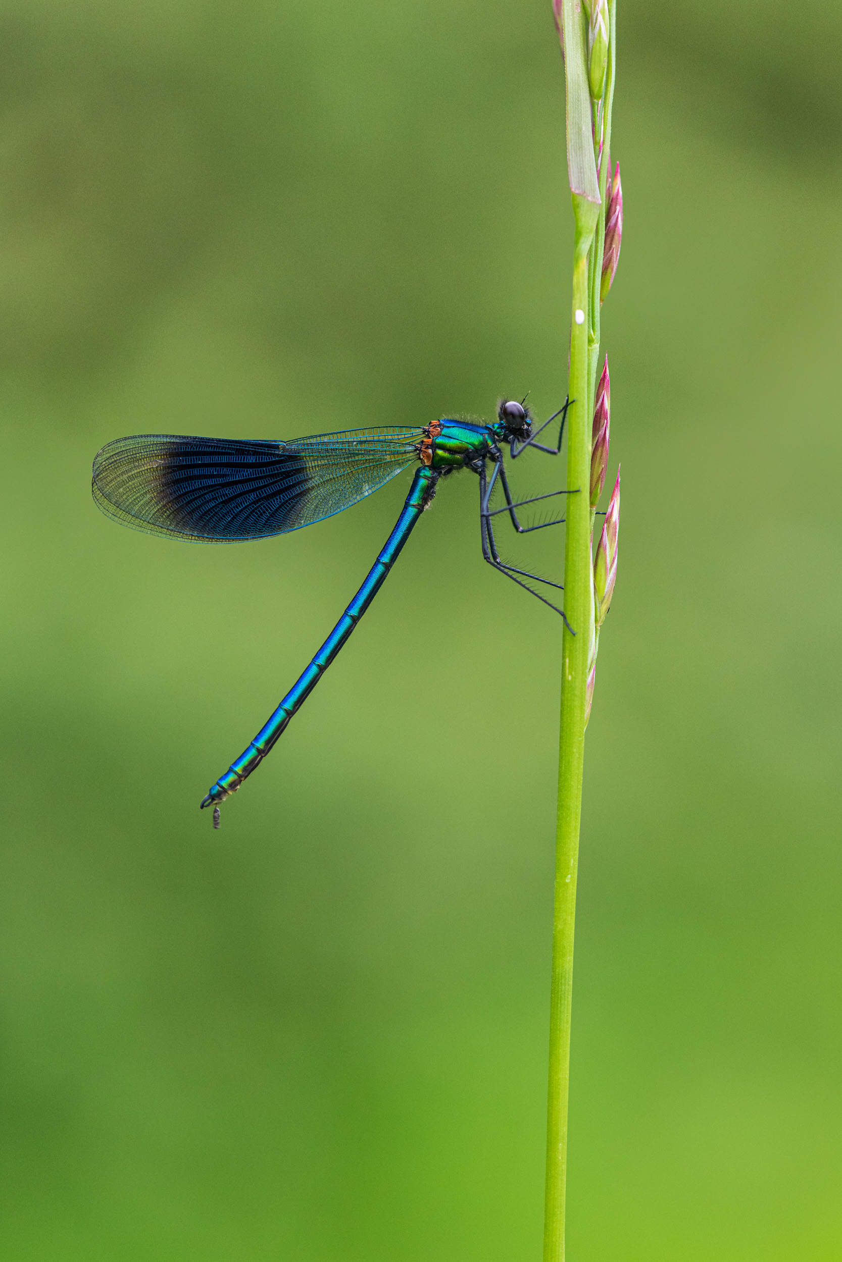 Banded Demoiselle (Calopteryx Splendens), Male - Nikon D850, Nikkor 105mm Macro @ f/5.6, 1/125th second at ISO 1600.