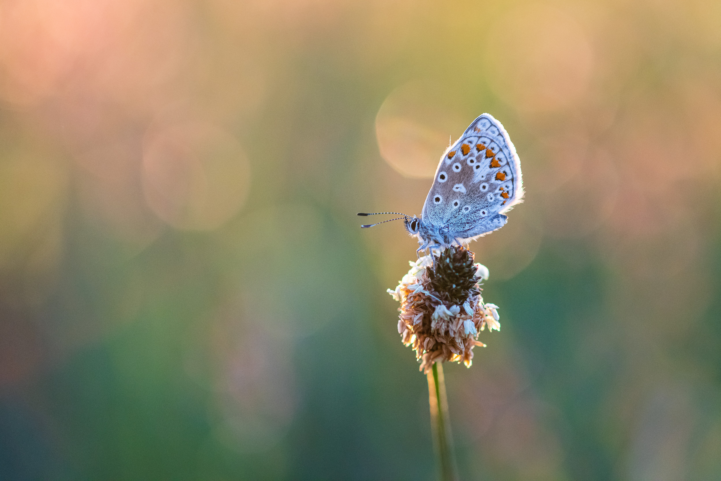 Common Blue #2, Devon  - Nikon D850, Zeiss 100mm f/2 at f/3.2, 1/800th second at ISO 1600