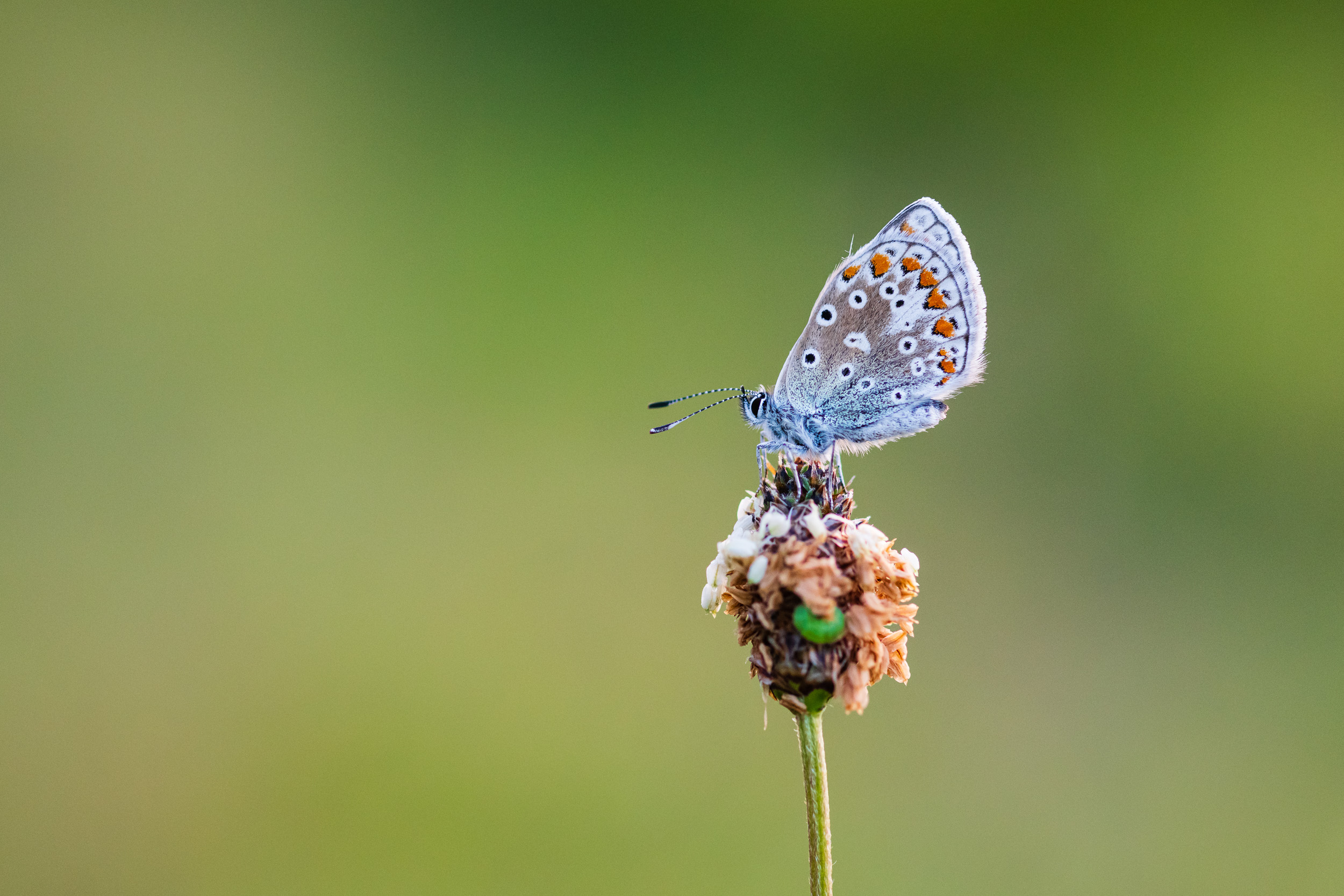 Common Blue #1, Devon  - Nikon D850, Zeiss 100mm f/2 at f/3.5, 1/400th second at ISO 1600