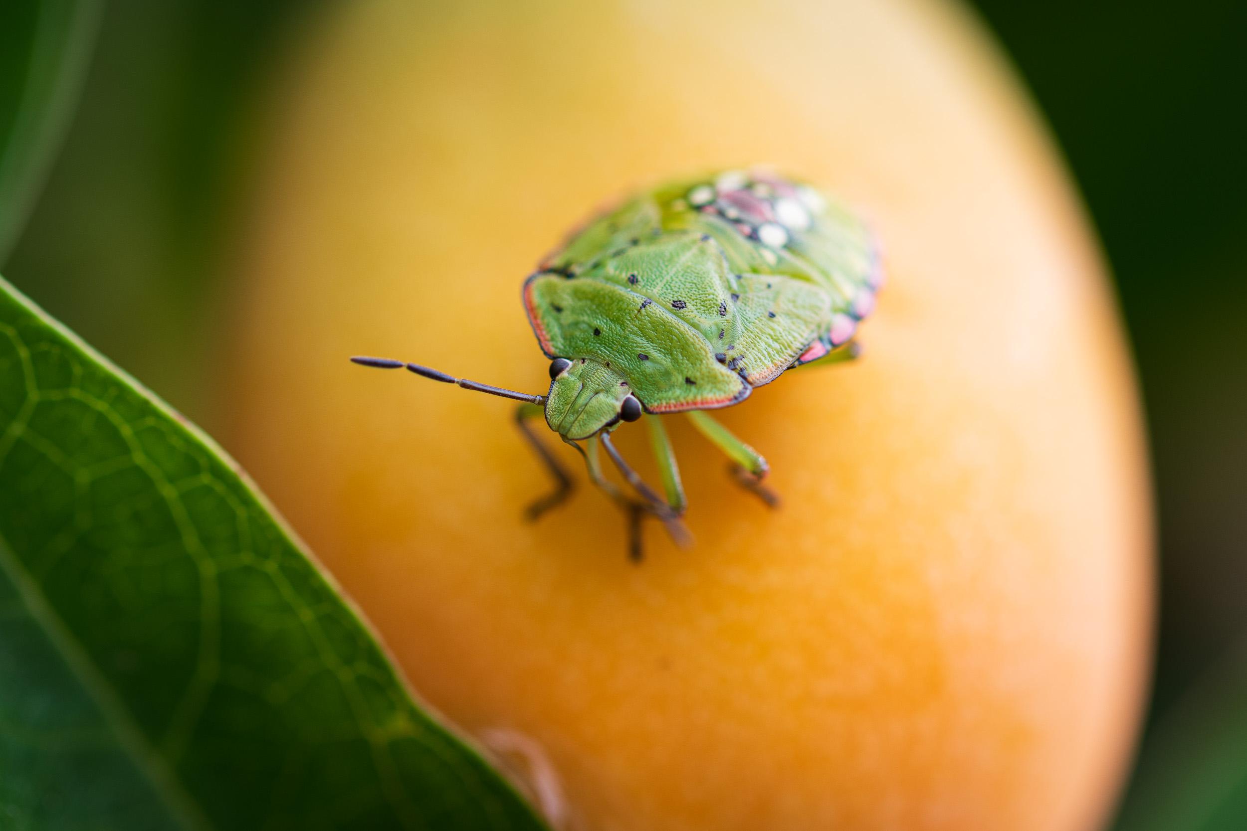 Green Bug  - Nikon D850, Sigma 105mm f/2.8, f/6.3, 1/100th sec at ISO 64