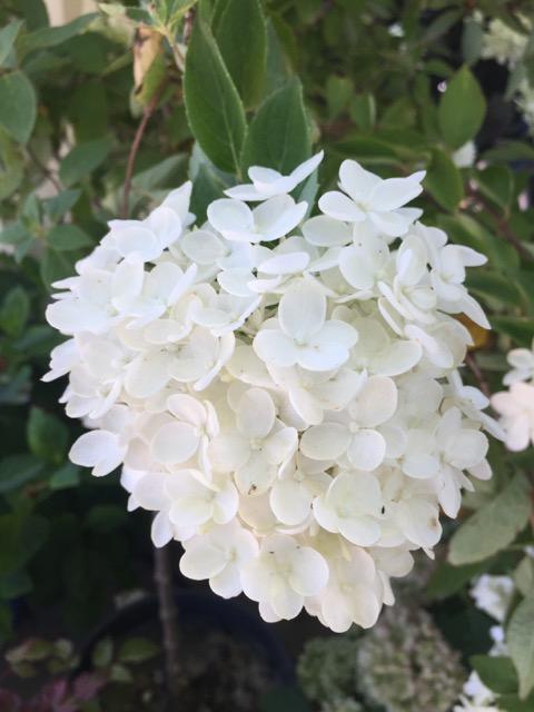 Hydrangea, Pee Gee Flower.jpg