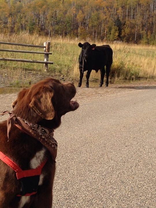 jack.cow.jpg
