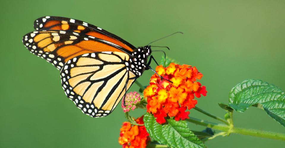 monarchbutterfly5315.jpg