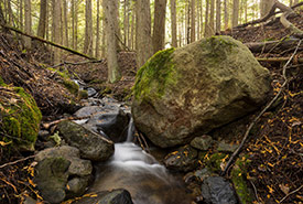 Cedar forests on the Midgeley property (Photo by Steve Ogle)