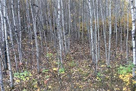 Dense areas of aspen stems spring up when the soil changes (Photo by NCC)