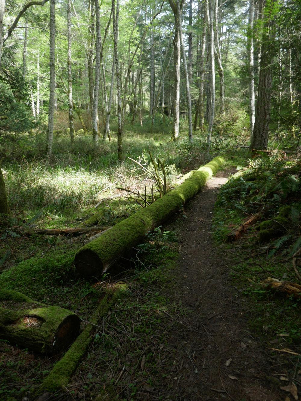 Woodland trail next to an alder bog