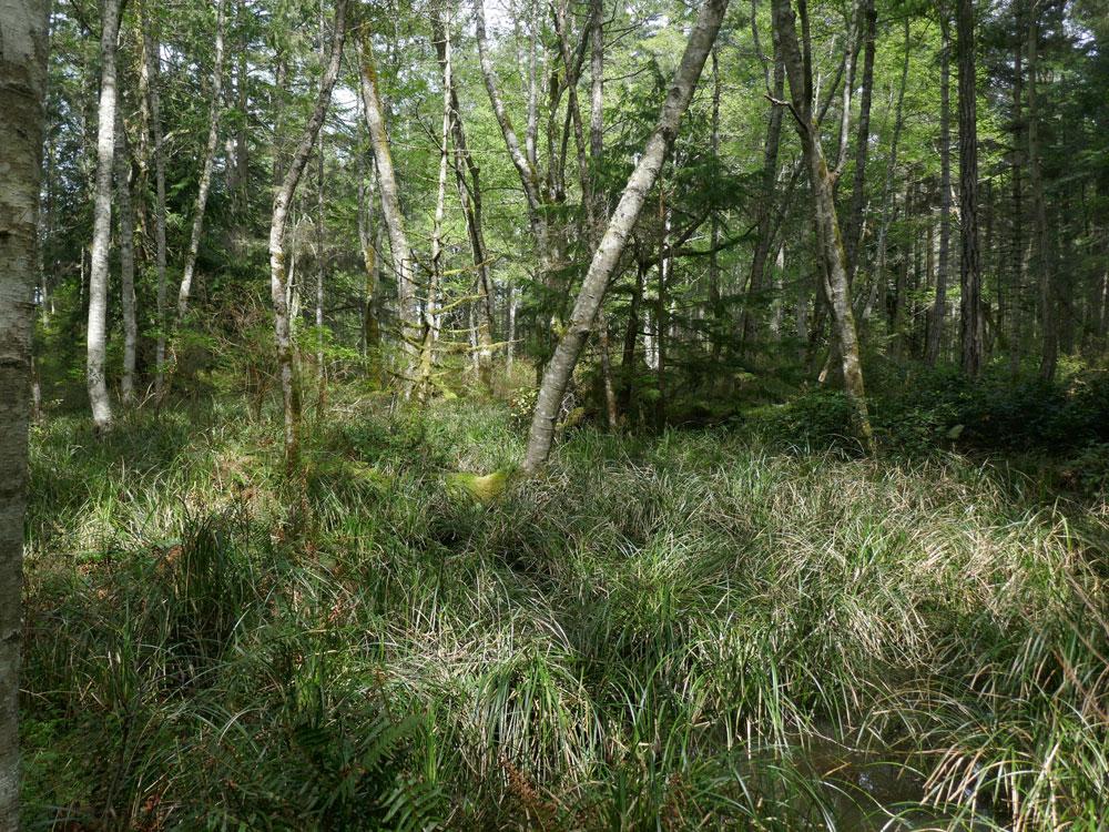 An alder bog in the spring