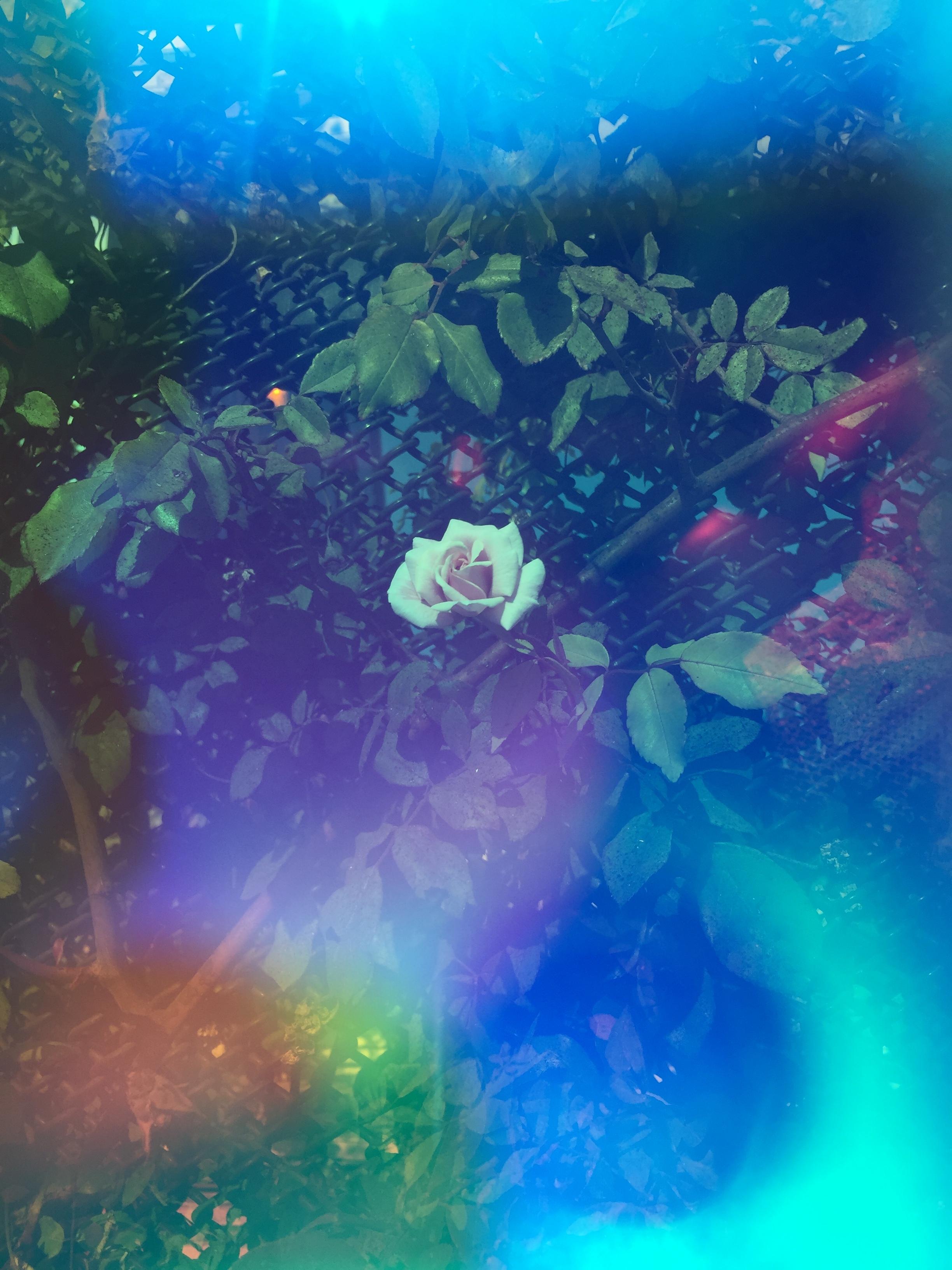 """Wild Rose Aura"" -  Amelia Konow (Oakland, Ca)"