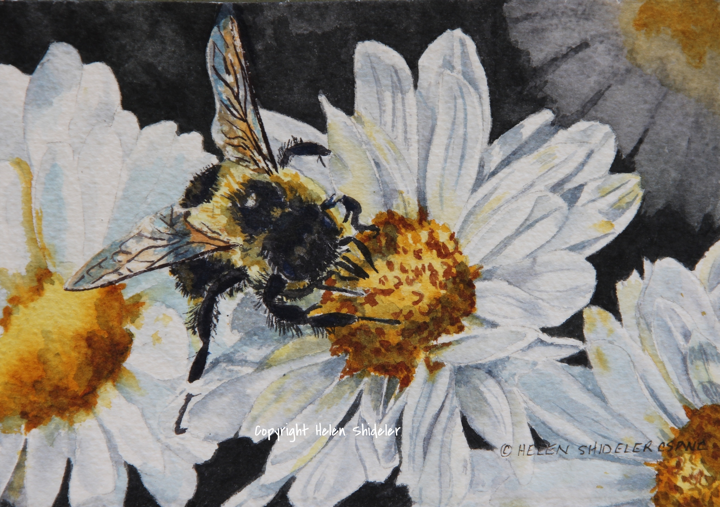 "My Day 2 painting for this event is called ""Bee-Dazzle"".  A bee on a small daisy.  This is a 5.5""x7.5"" transparent watercolour on Arches 300lb paper.  It is matted and ready for your 9""x12""  frame.  Available on my website by clicking   HERE    for $90"