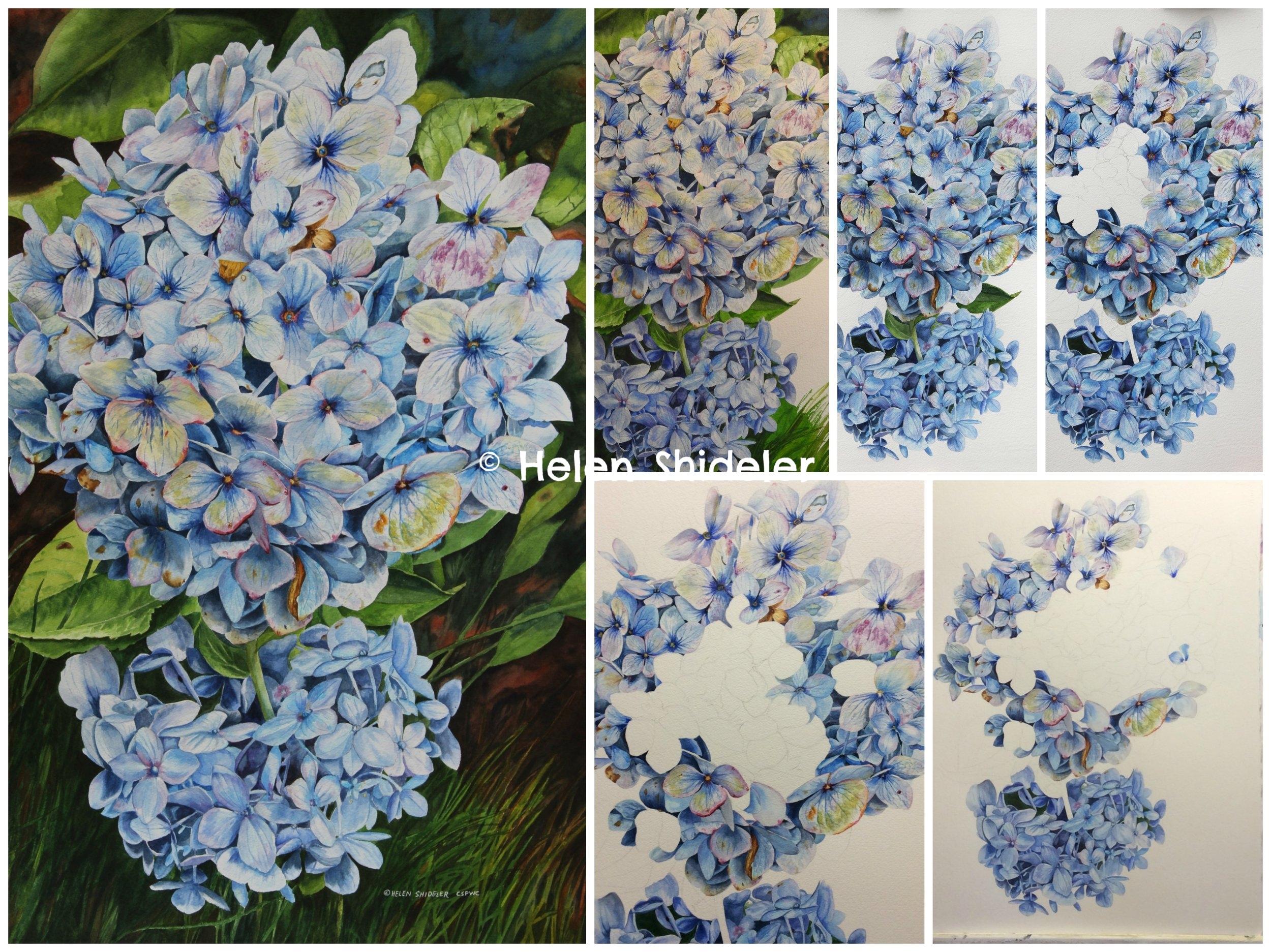 WIP Blue hydrangea in watercolour by Helen Shideler