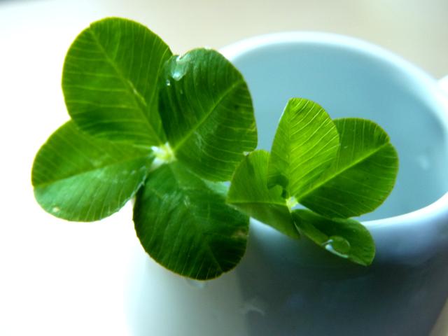 4-leaves-clovers-W1.jpg