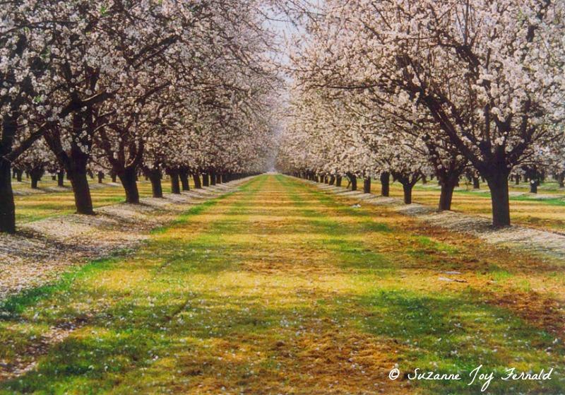 Almond Trees Path by Suzanne Joy Fernald