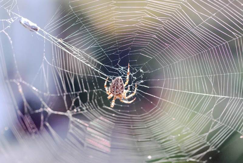 spiderweb spider W.jpg