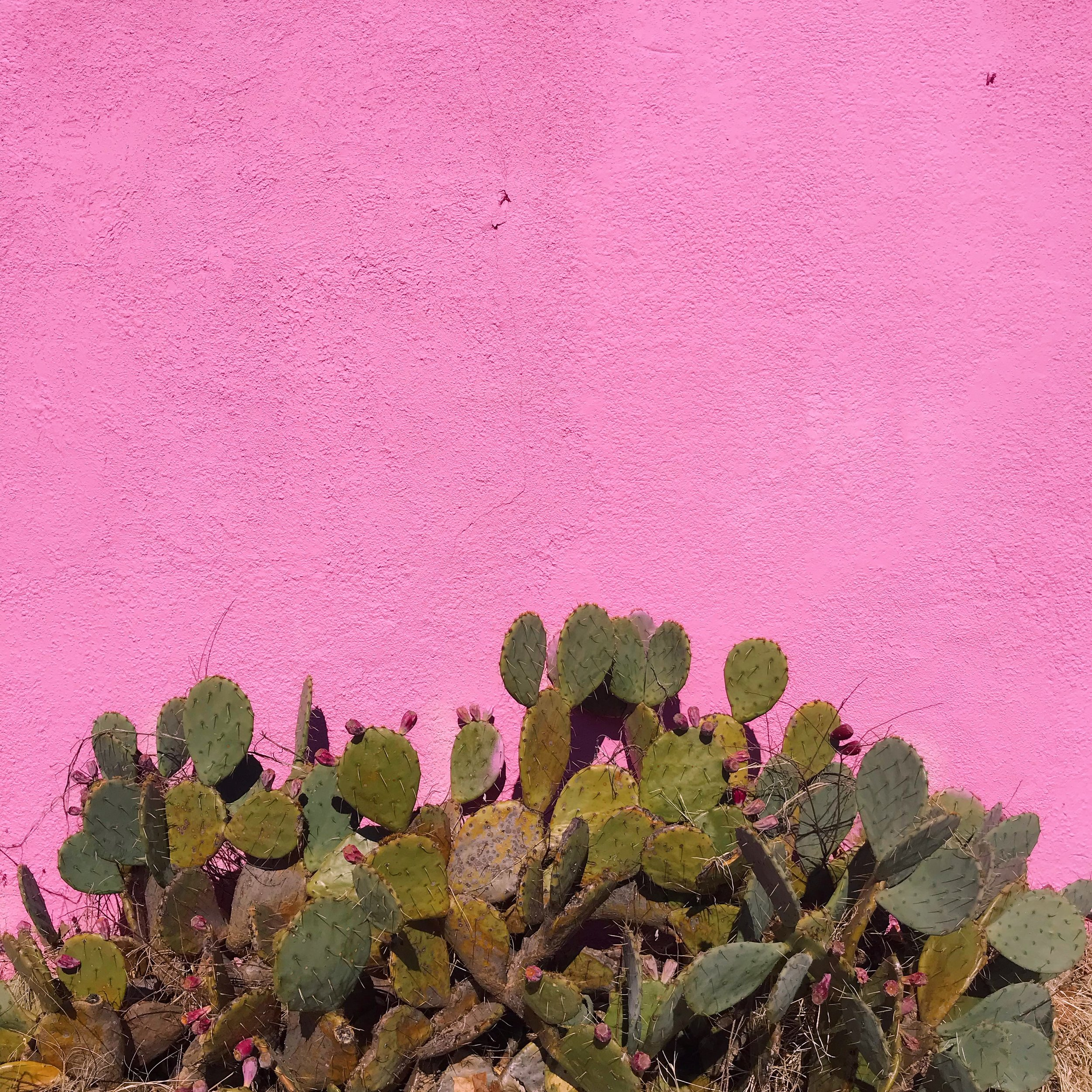 Pink Cactuses in The Paseo District.JPG