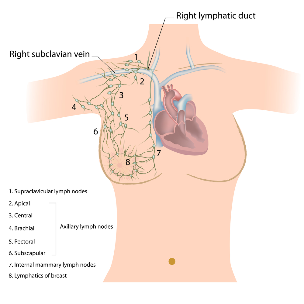 Lymphatic components of the breast