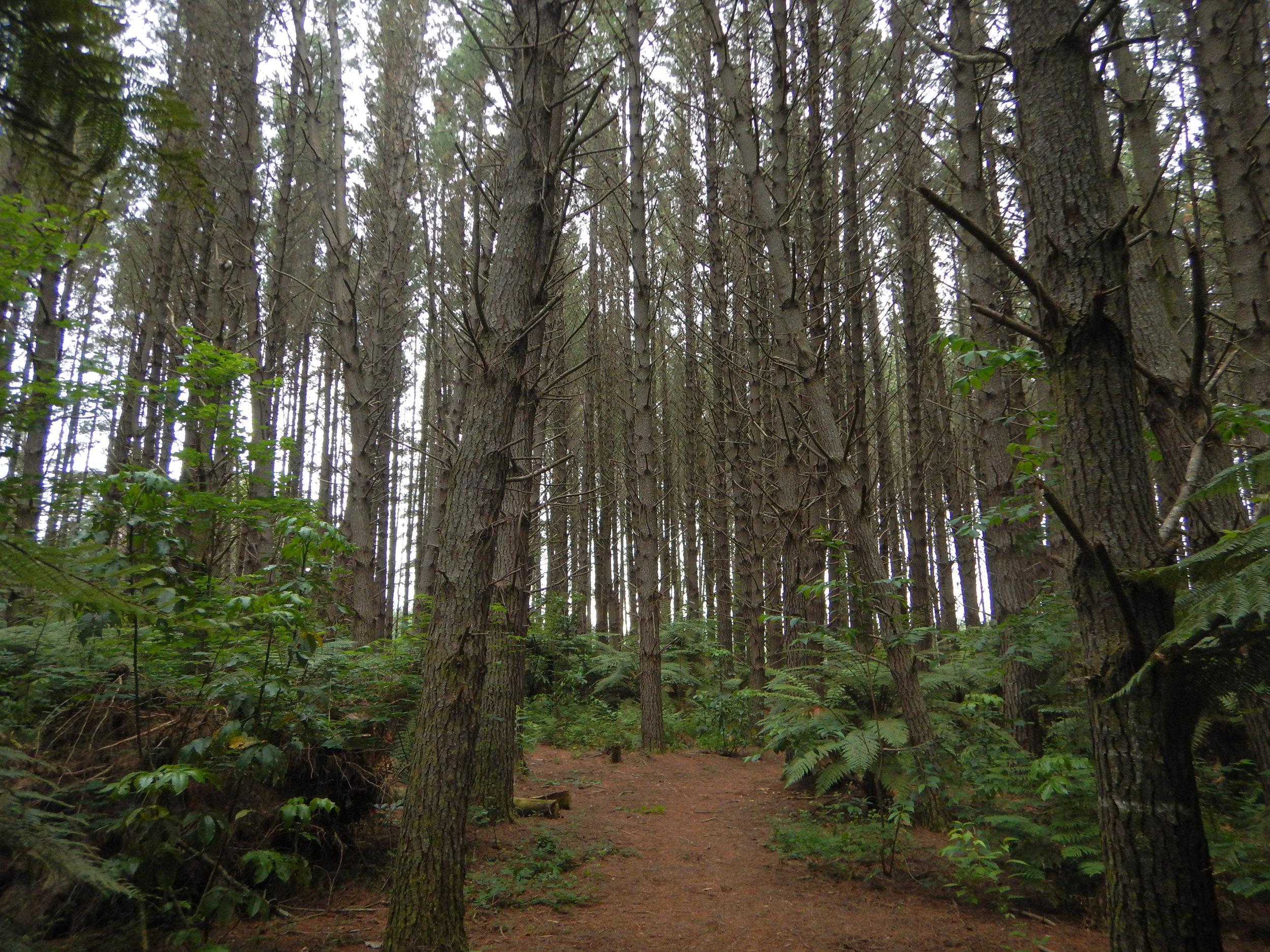 Whakarewarewa forest.
