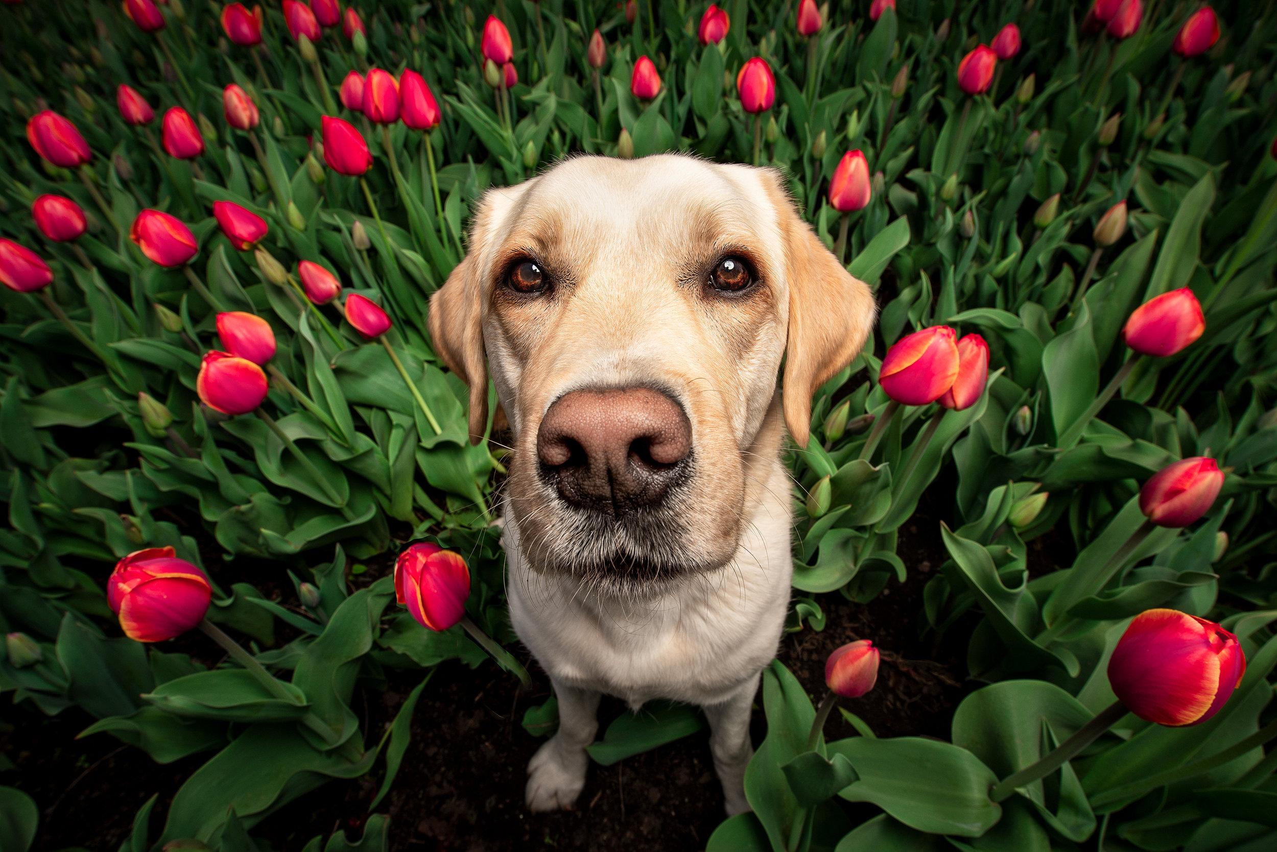 Pet photographer Ottawa - Ottawa photographer - Ottawa dog photographer - animal photographer - salt photography - dog photographer canada - Yellow labrador retriever - tulips and dogs.jpg