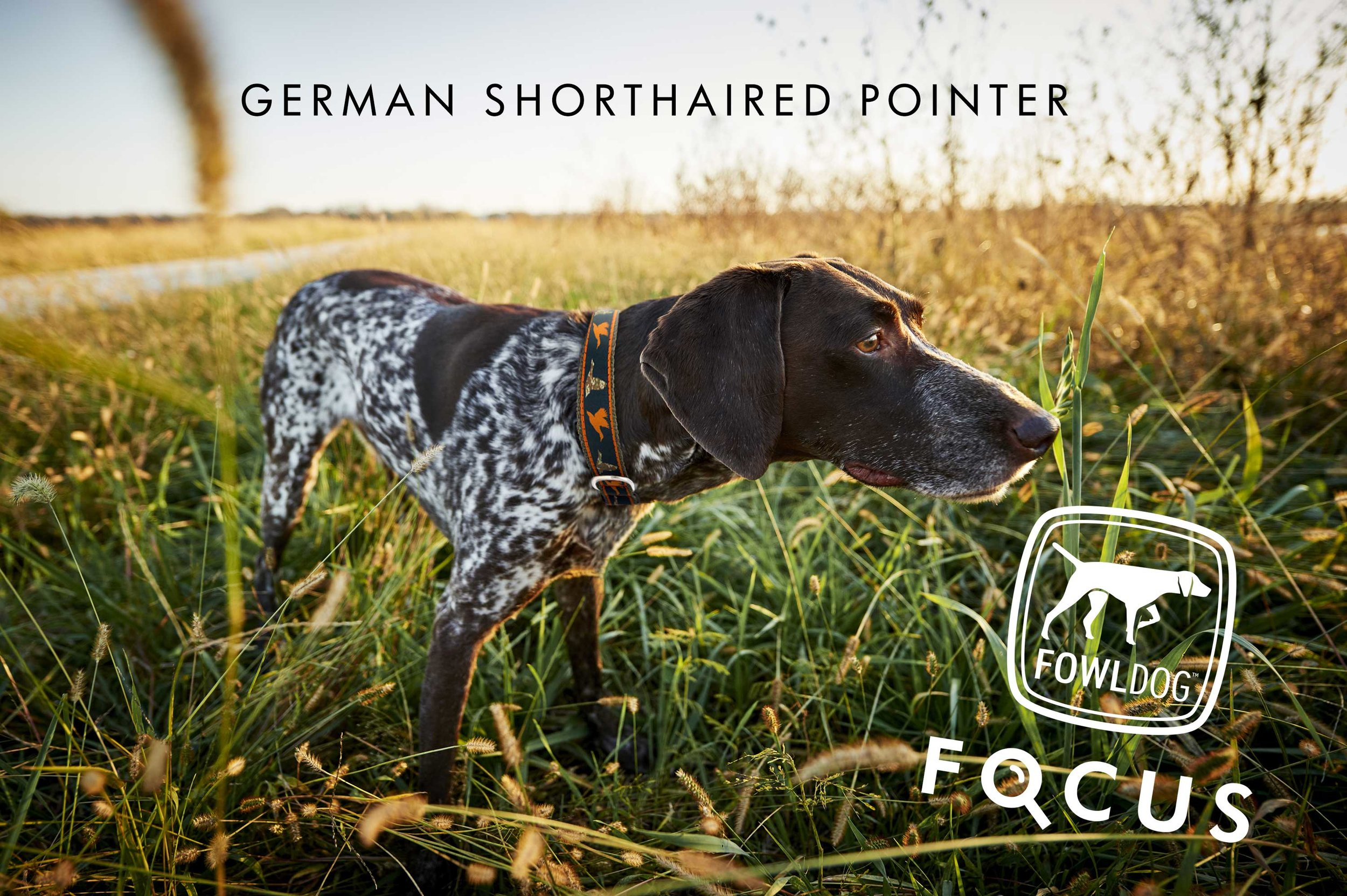 Introducing Fowl Dog Focus: The German Shorthaired Pointer