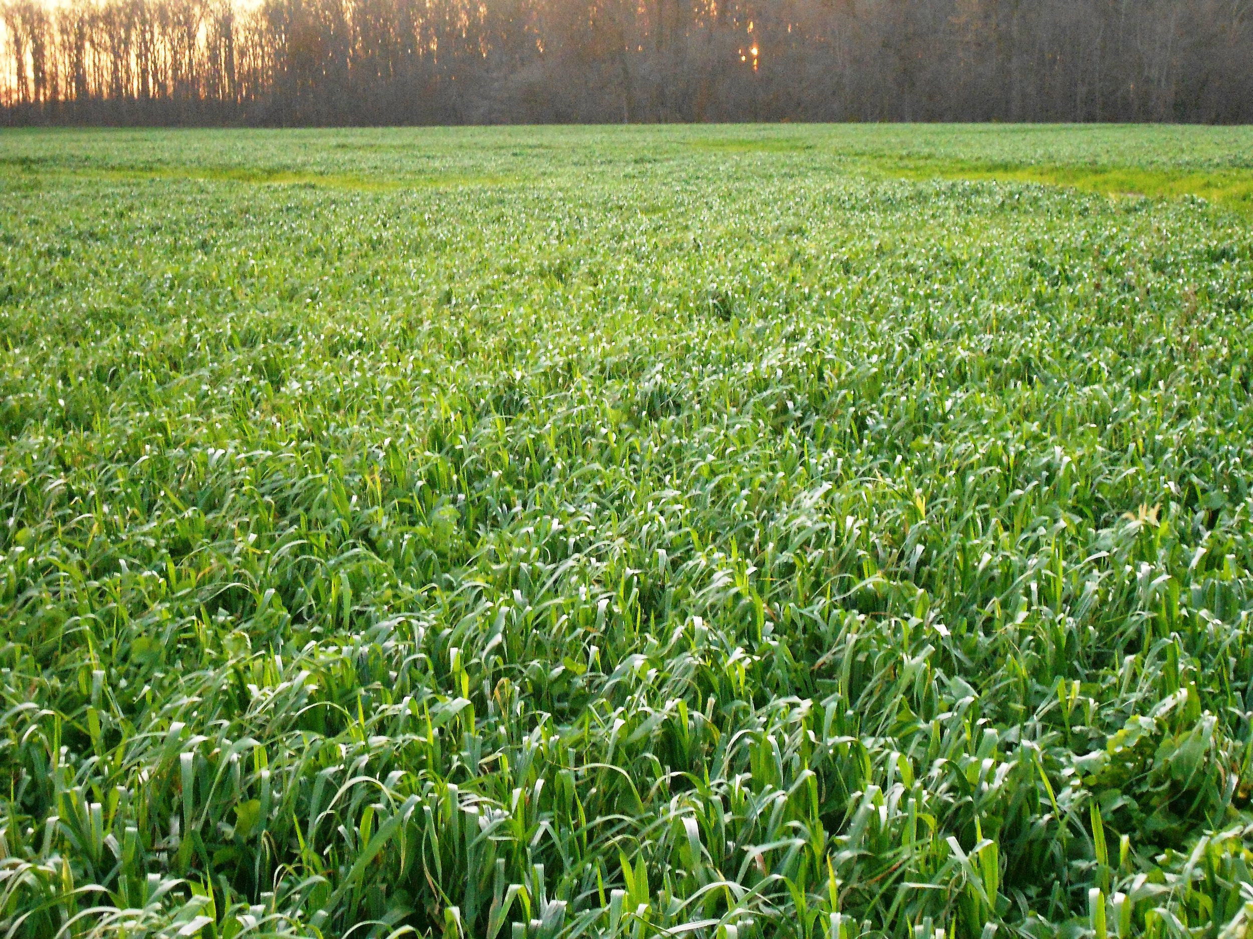 Elbon cereal Rye Cover Crops