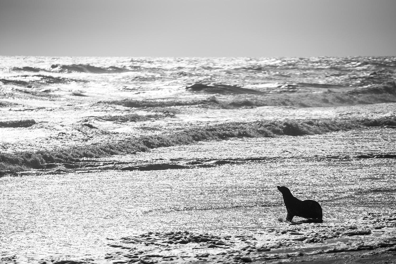 Atlantik Okyanusu kıyısında bir kürklü fok