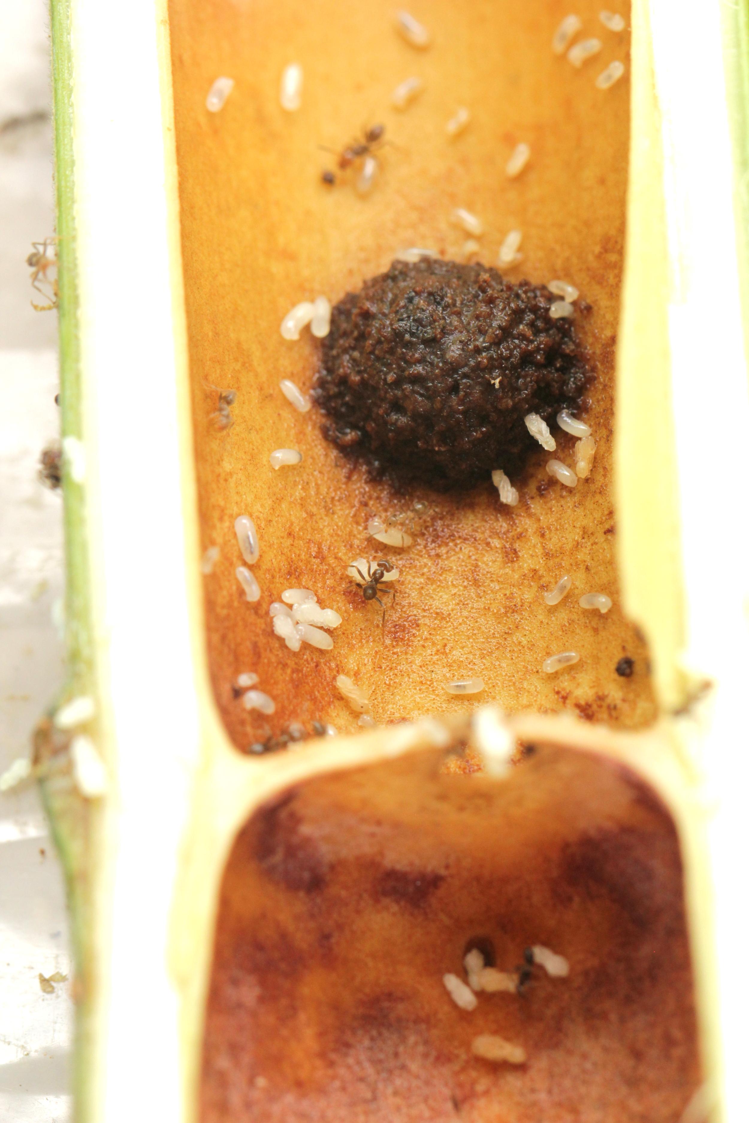 "Brood surround a ""nematode pile"" inside the internode"