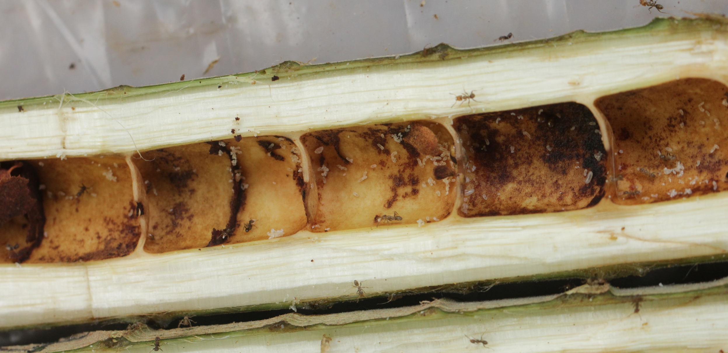 A cross section of the Cecropia stem reveals hollow internodes where the ants reside