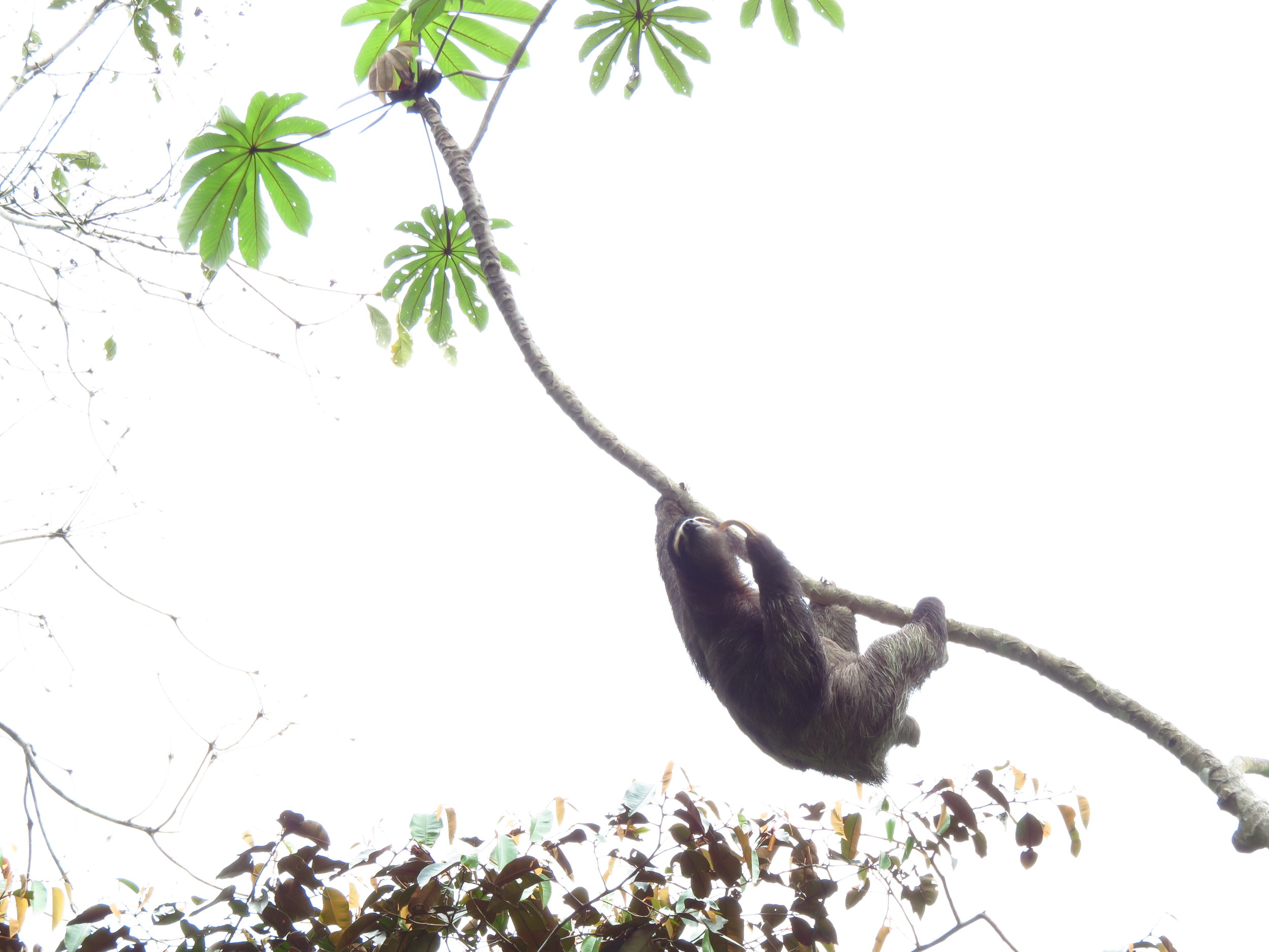 A three-toed sloth attempting to reach the Cecropia leaves.
