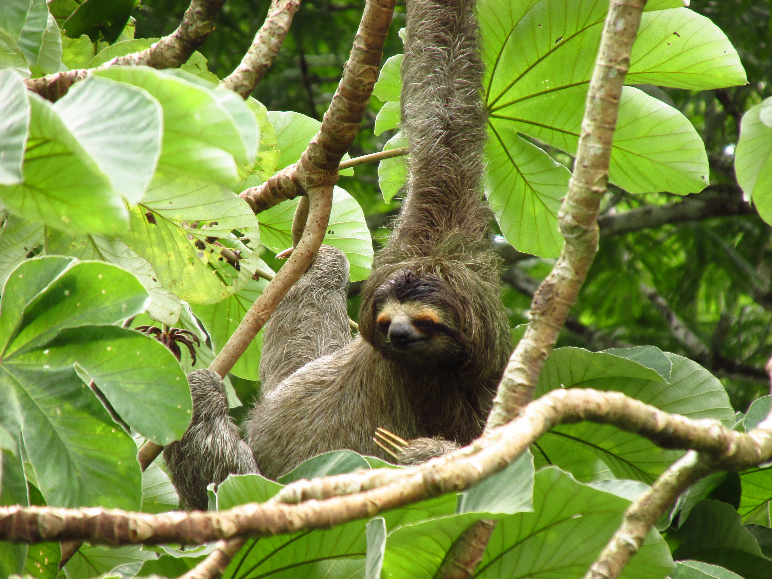 A three-toed sloth foraging leisurely in a Cecropia tree.