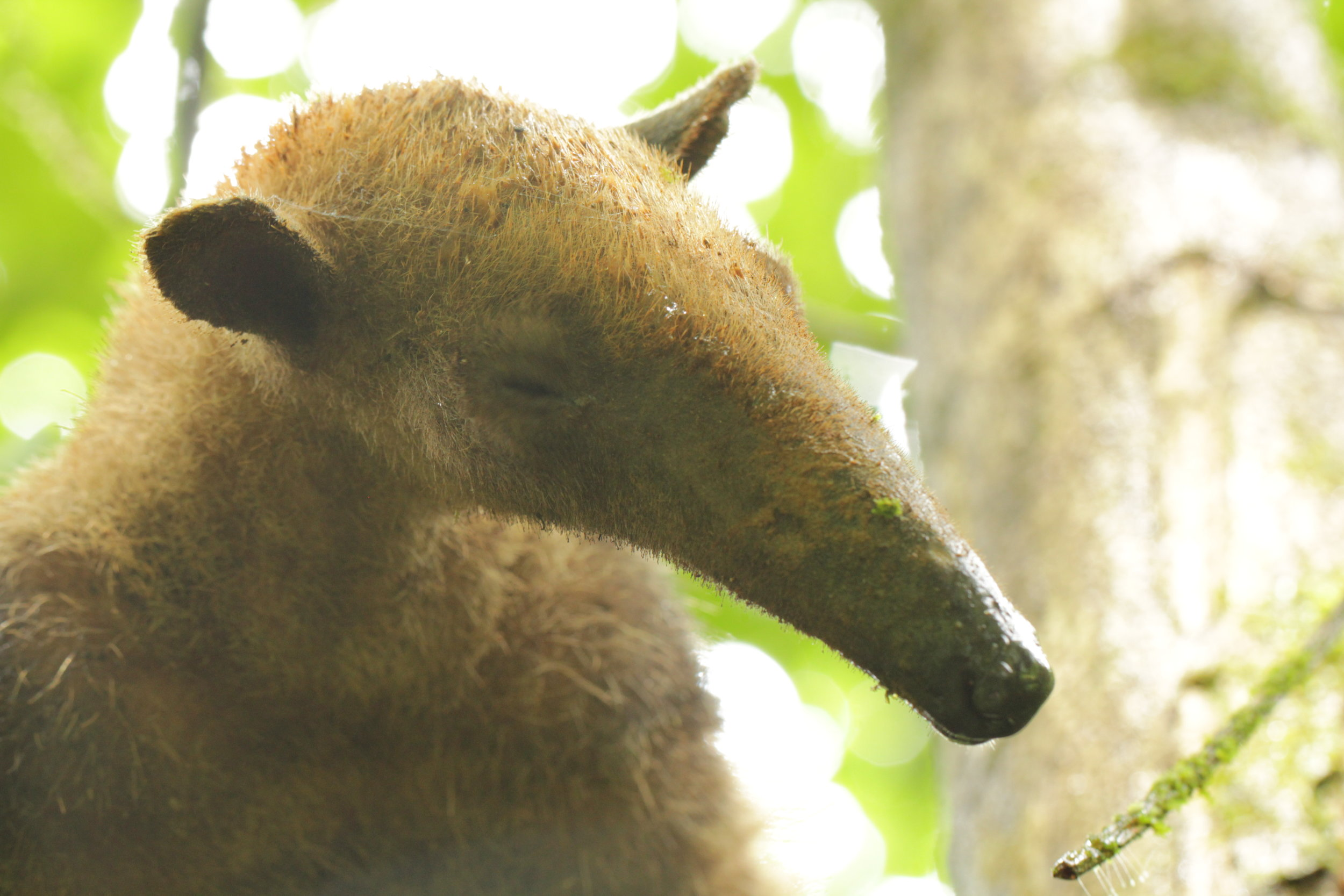 The tamandua, an arboreal anteater, pondering the potential meal waiting in a nearby Cecropia tree.