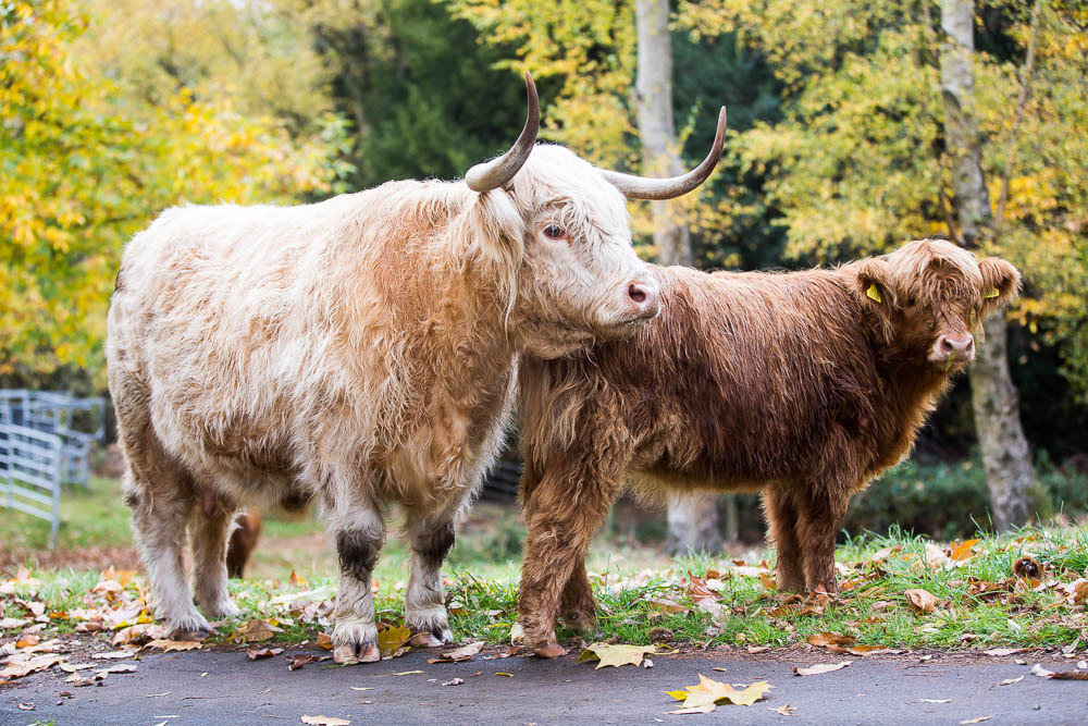 hedor_house_highland_cattle_photography-3.jpg
