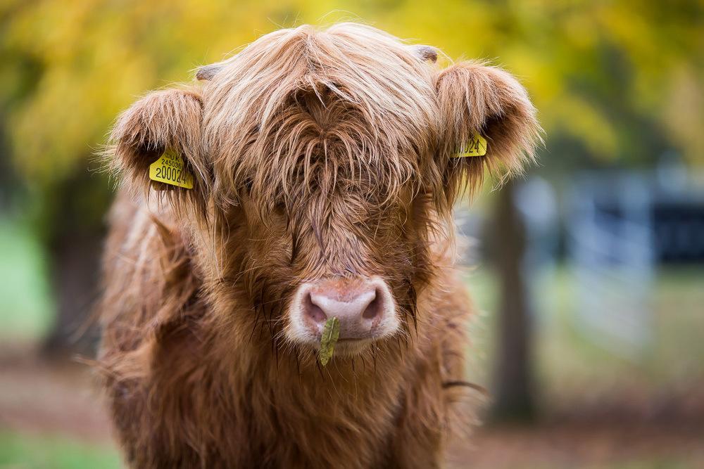 hedor_house_highland_cattle_photography-4.jpg