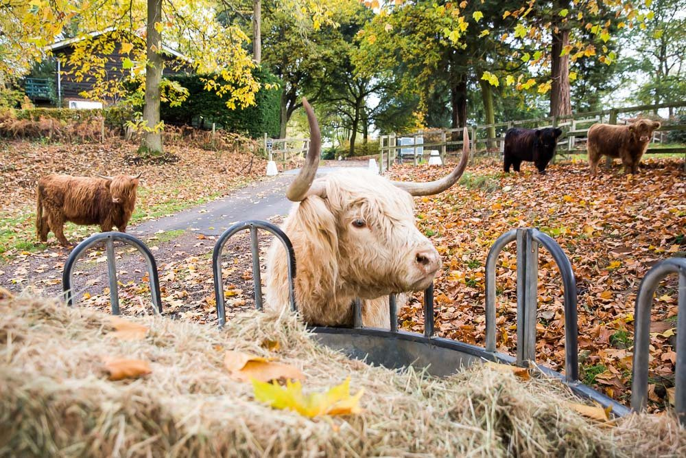 hedor_house_highland_cattle_photography-6.jpg