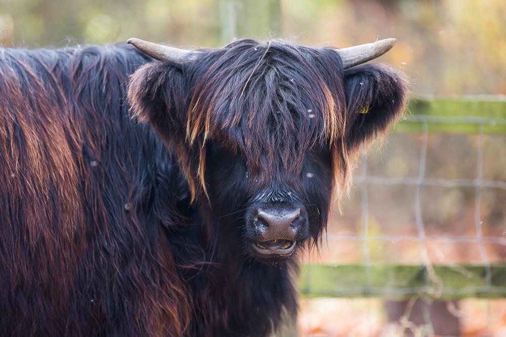 hedor_house_highland_cattle_photography-11.jpg