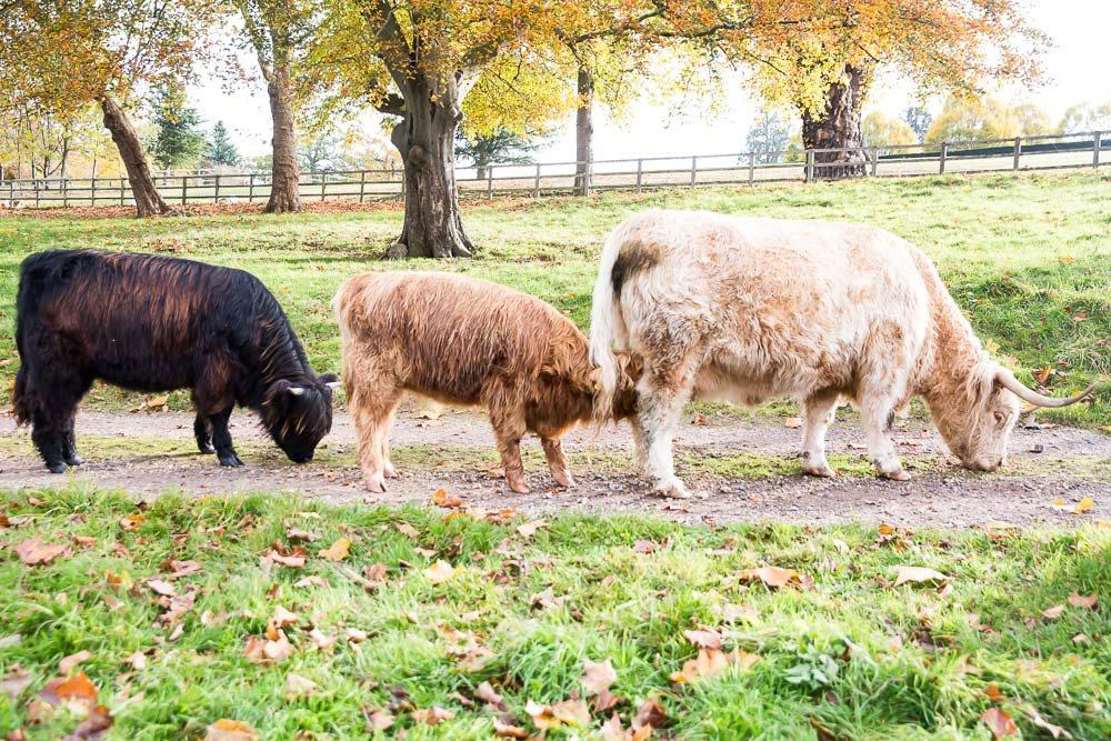 hedor_house_highland_cattle_photography-14.jpg
