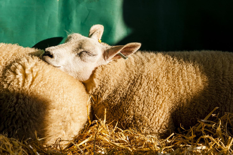 Sheep Easy