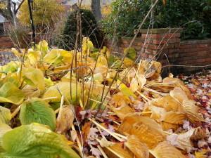Hosta in Fall
