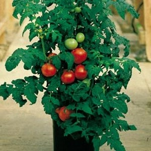 Patio tomato, ready to harvest