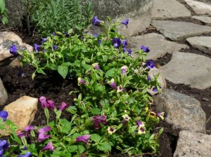 A border of torenia brightens and softens a shady rock garden