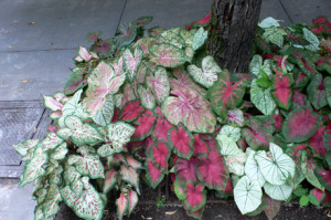 Caladium framing a tree adds an unexpected ring of color