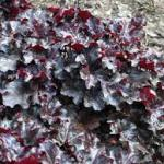 Heuchera 'Licorice', a deep, dramatic addition to the garden