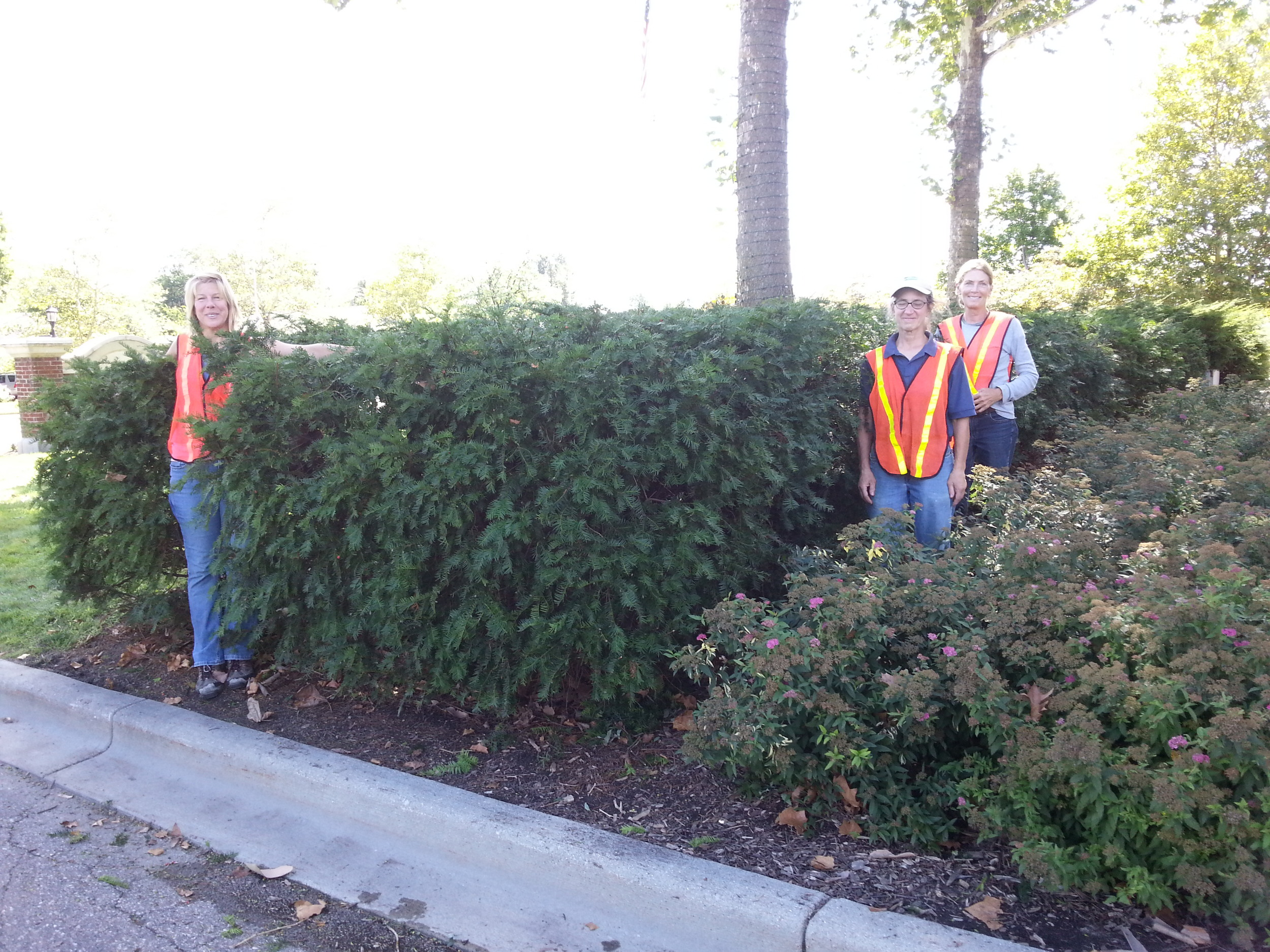 Careful pruning ends with a lush, green hedge as a backdrop for the spirea