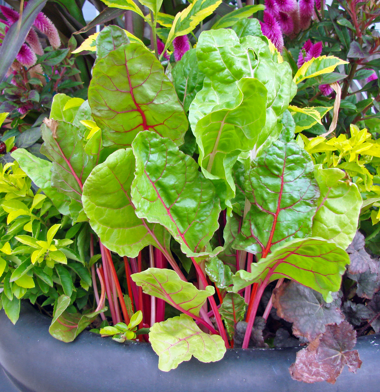 Ornamental Swiss Chard.jpg