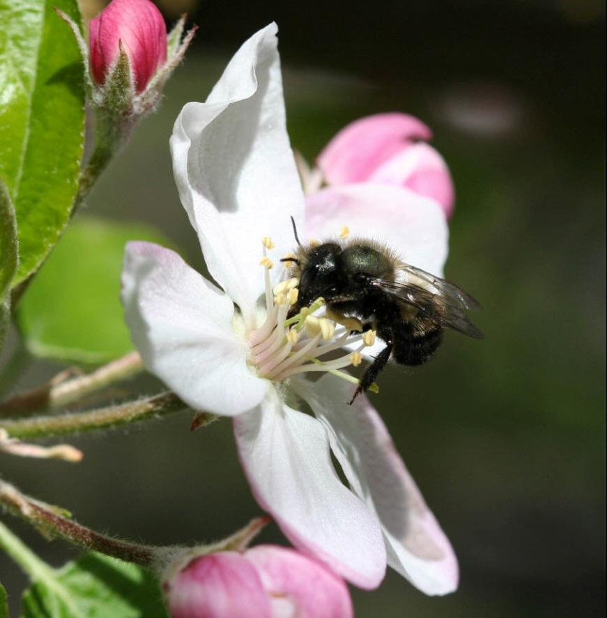 Mason Bee on Apple Blossom.jpg