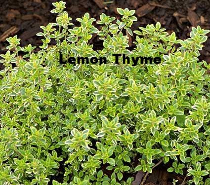 lemon thyme.Jpg