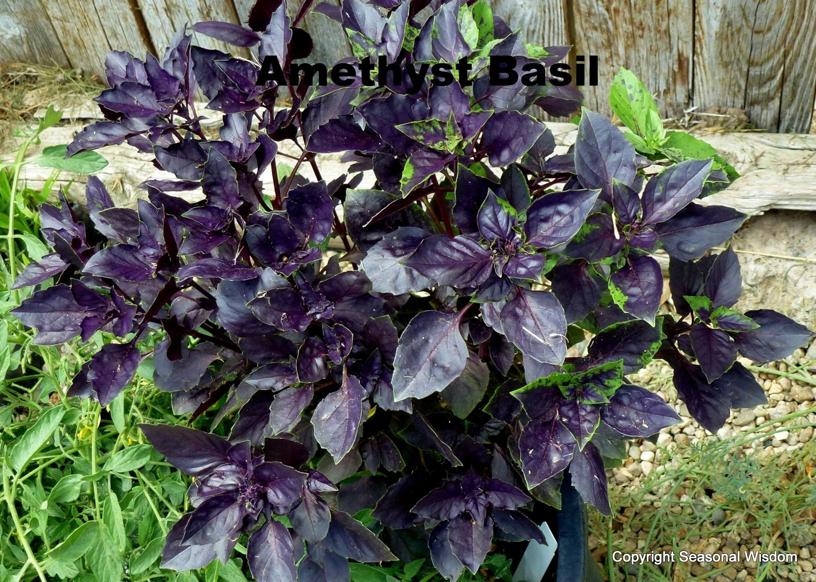 Purple Basil.jpg