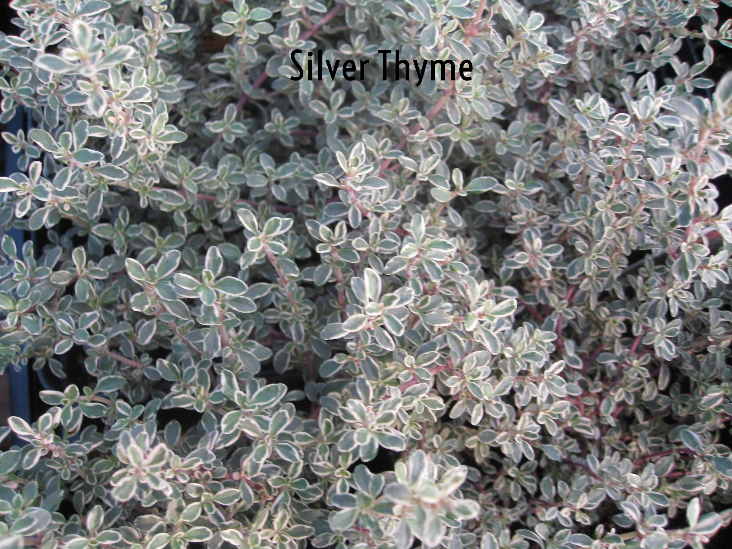 silver thyme.jpg