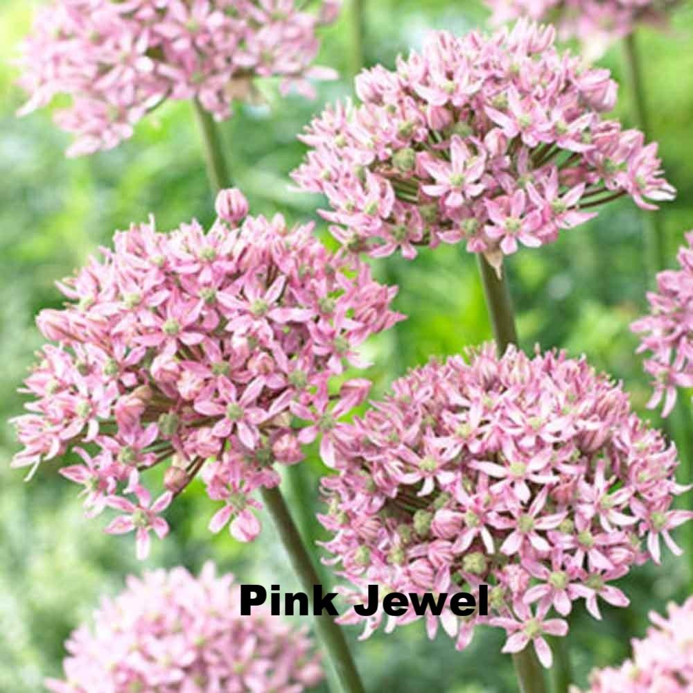 Pink Jewel.jpg